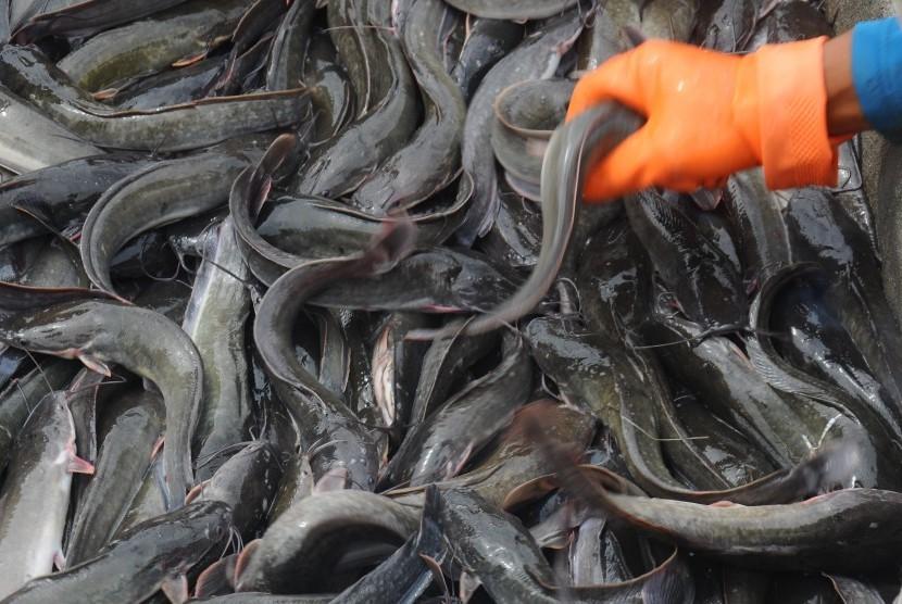 cara budidaya ikan lele di kolam tembok