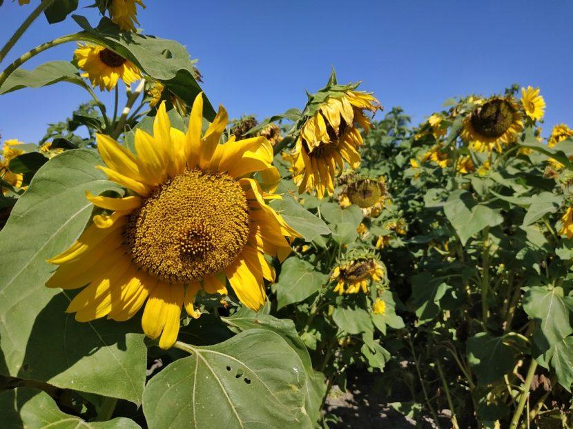 menanam bunga matahari pot